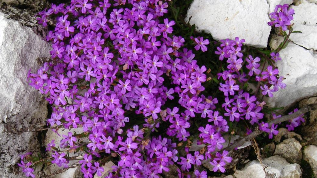 Erine des Alpes - Erinus Alpinus