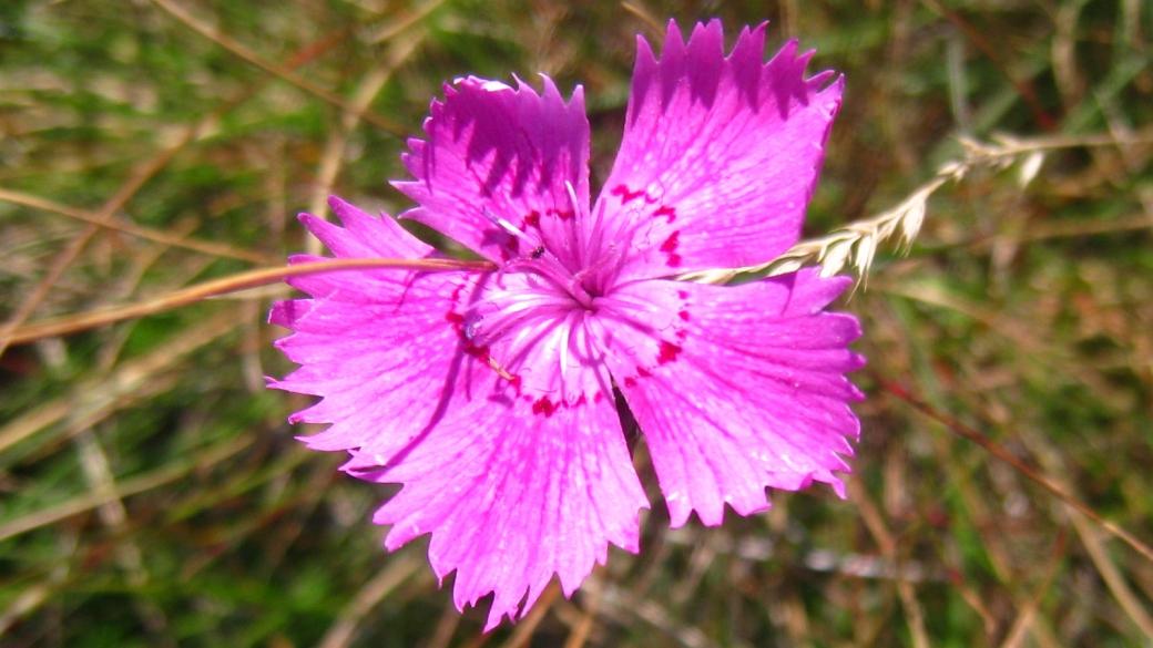 Œillet des Rochers - Dianthus Sylvestris