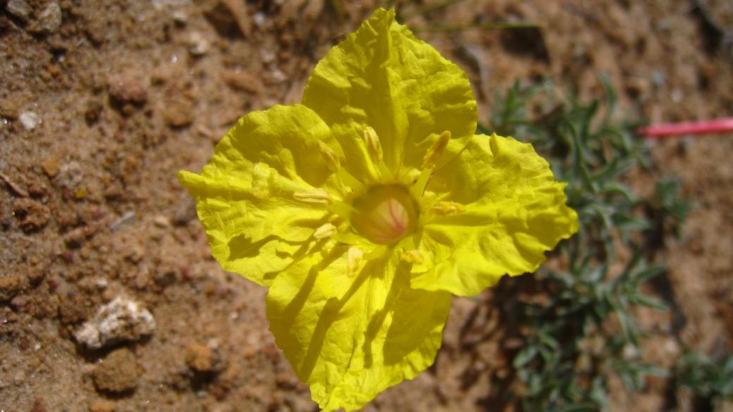 Lavender Evening Primrose - Calyophus Lavandulifolia
