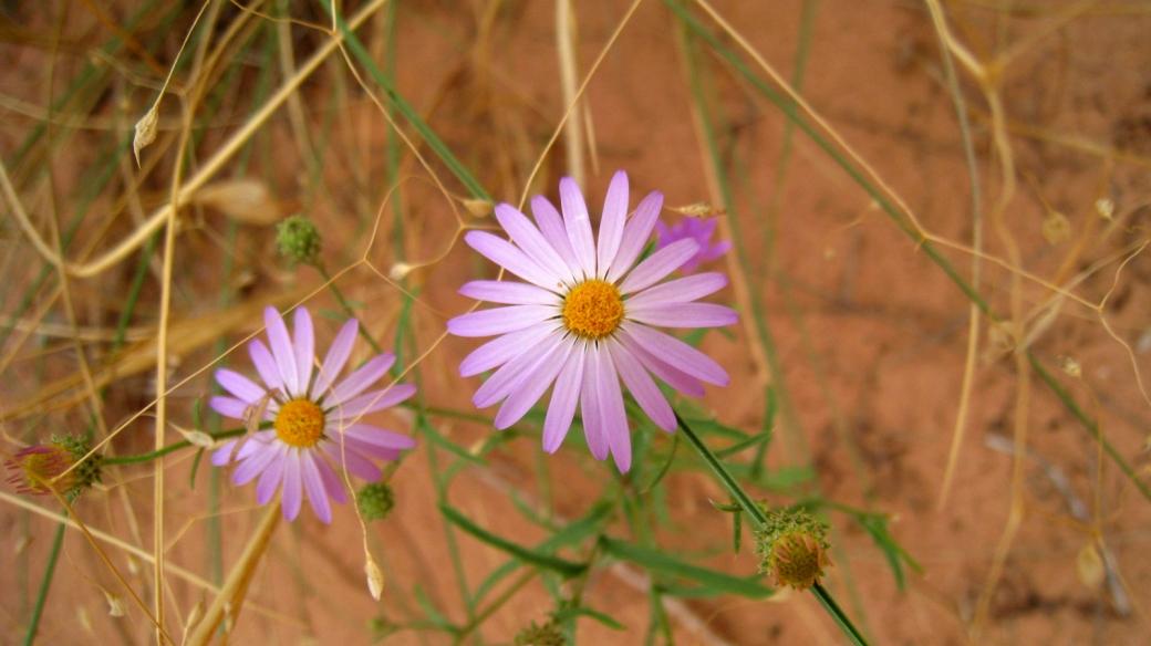 Purple Aster - Symphyotrichum Ascendens