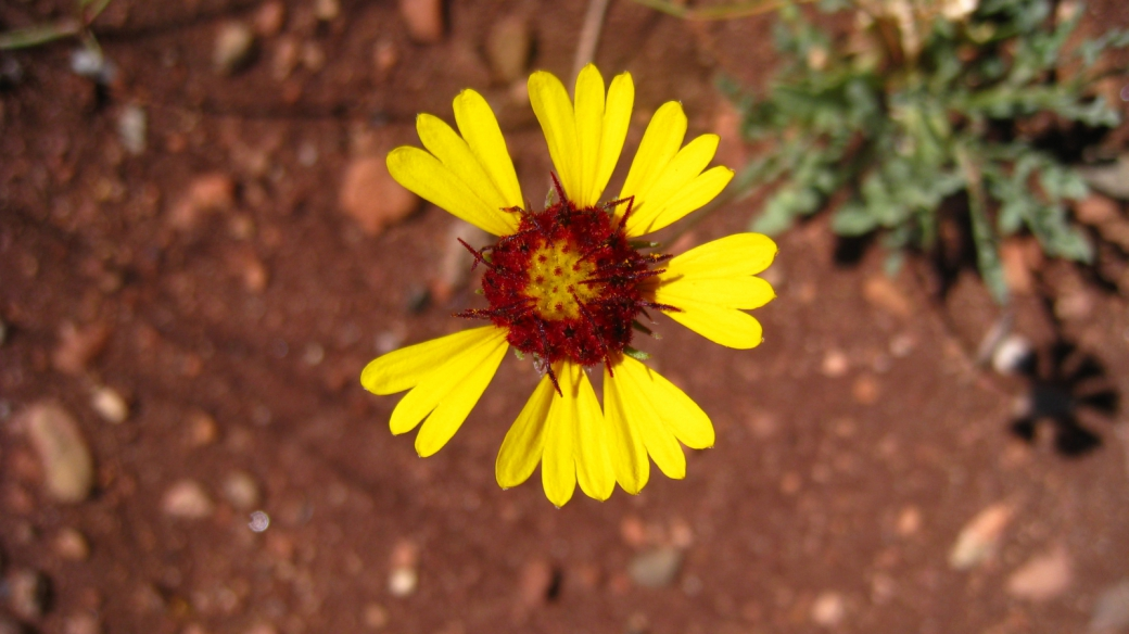 Red Dome Blanket Flower – Gaillardia Pinnatifida