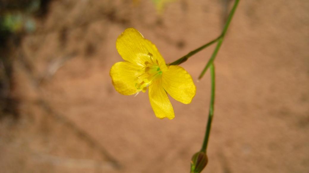 Utah Yellow Flax - Linum Subteres