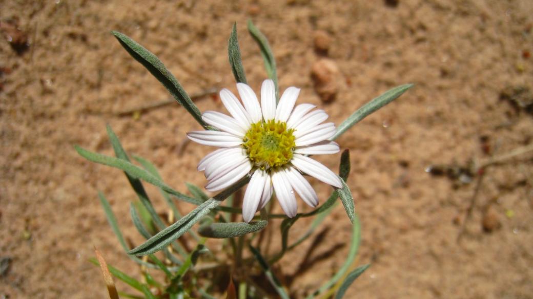 Silvery Townsendia - Townsendia Florifer