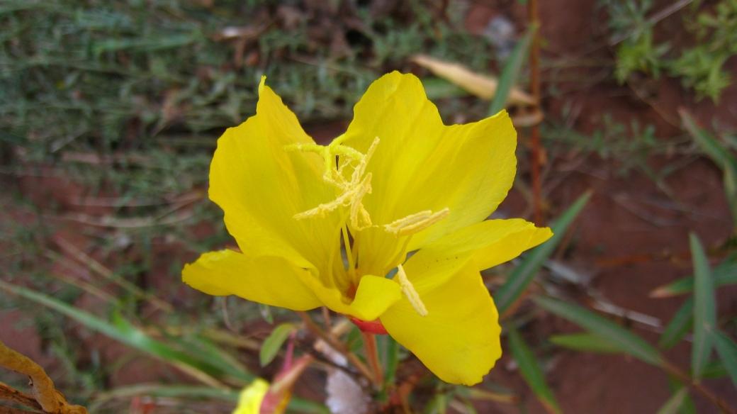 Hooker's evening primrose - Oenothera Elata