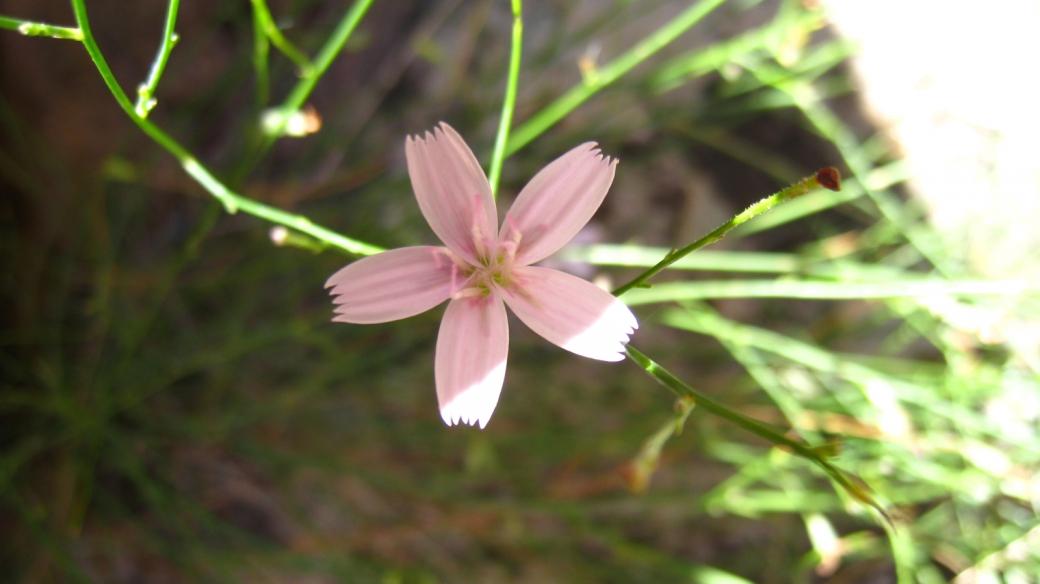 Skeletonplant - Lygodesmia Grandiflora