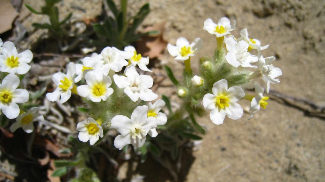 Yellow-eye Cryptanth – Cryptantha Flavoculata