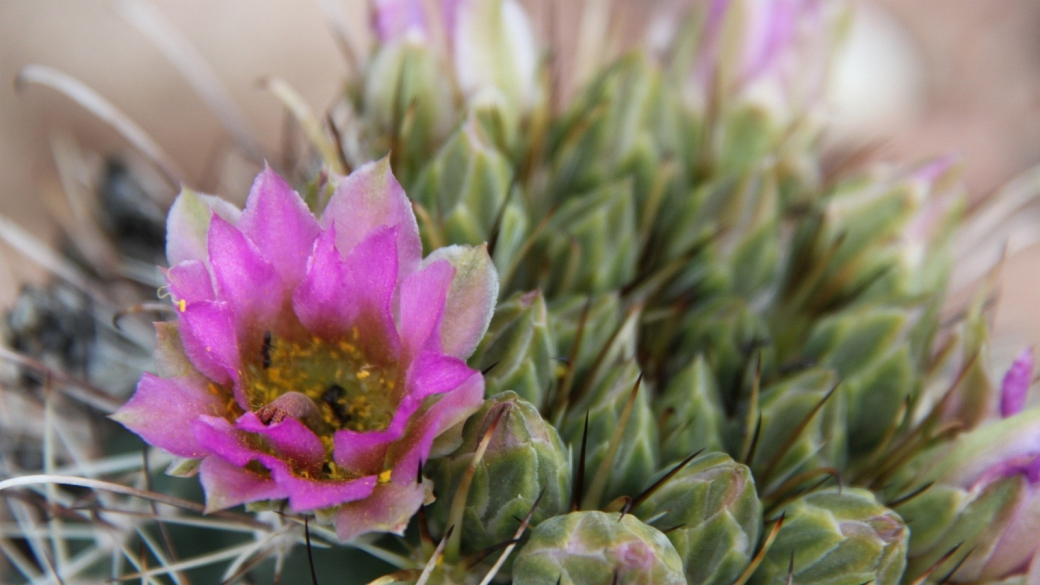 Fishhook Cactus - Sclerocactus Parviflorus