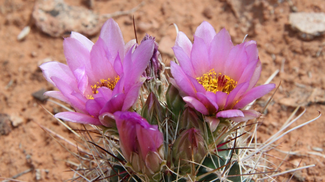 Strawberry Hedgehog Cactus - Echinocereus Stramineus