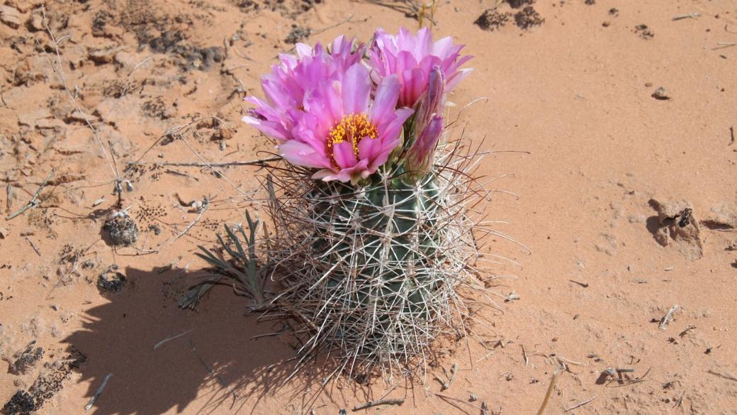 Pinkflower Hedgehog Cactus - Echinocereus Fendleri