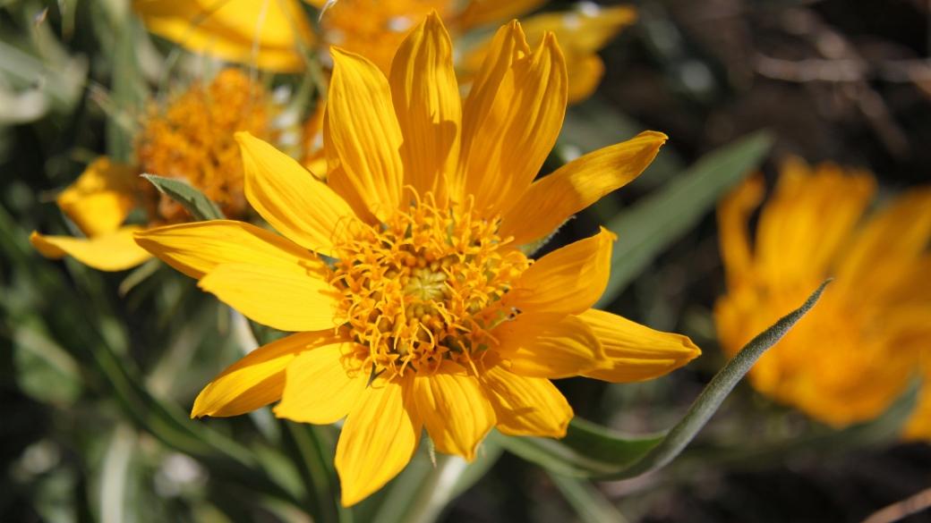 Golden Aster - Heterotheca villosa. Synonym: Chrysopsis Villosa