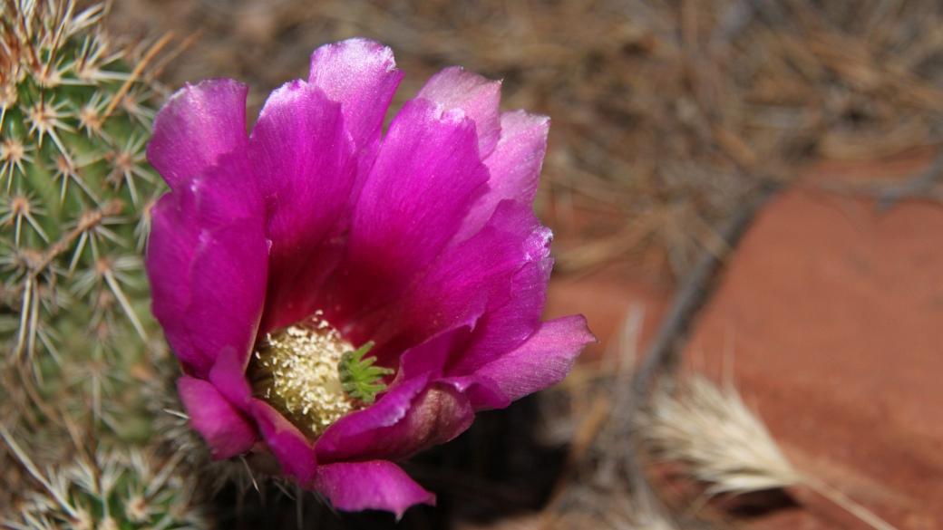 Engelmann's Hedgehog Cactus - Echinocereus Engelmannii