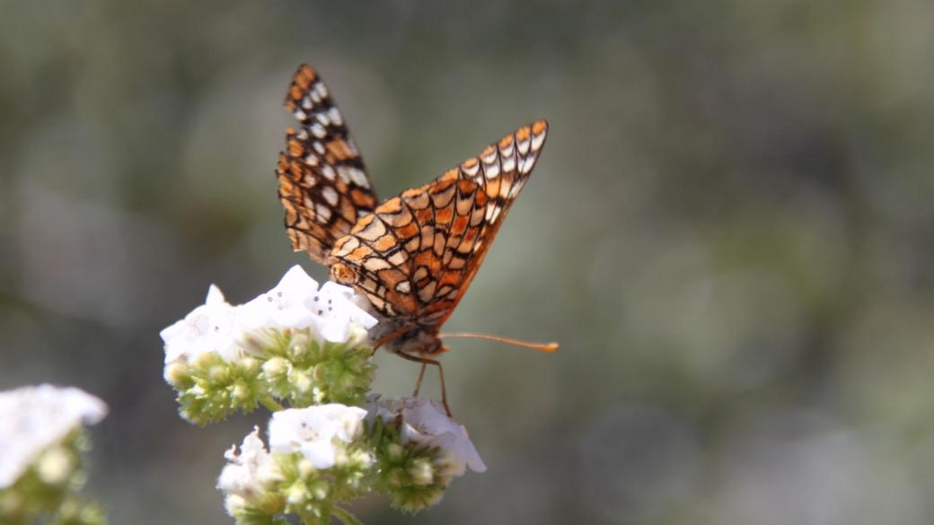 Chalcedon Checkerspot - Euphydryas Chalcedona