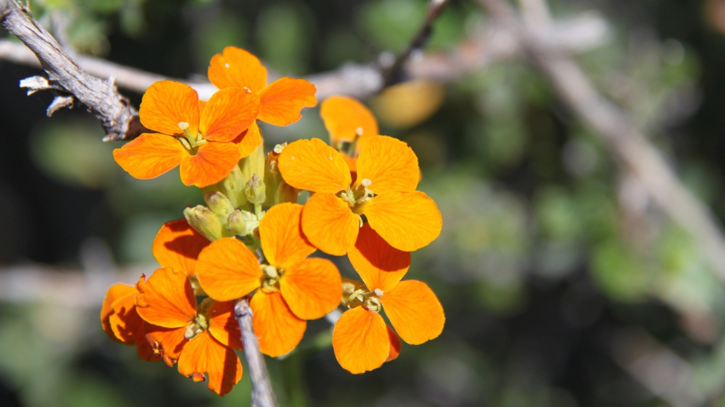 Sanddune Wallflower. - Erysimum Wheeleri