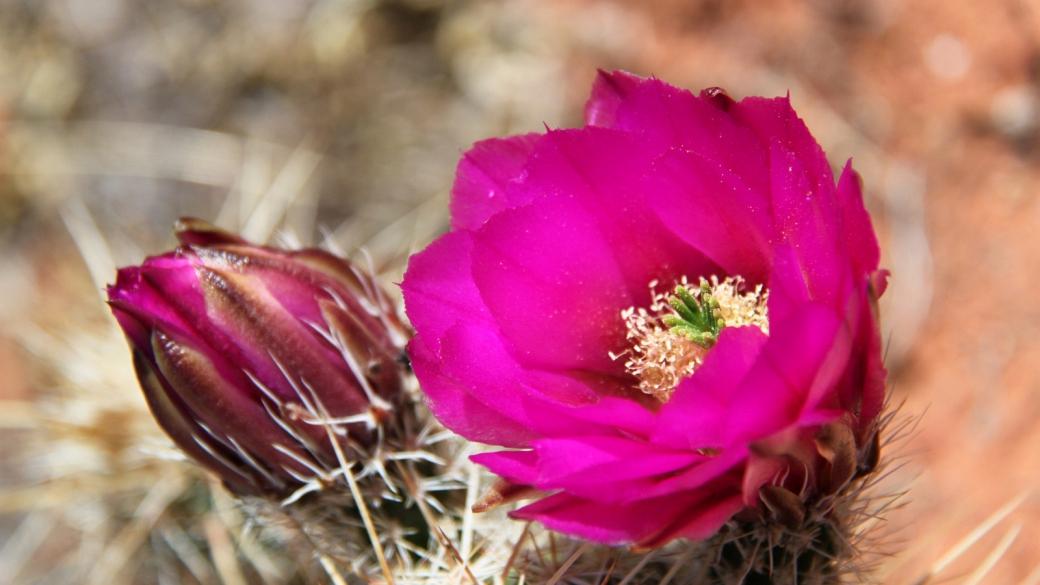 Fishhook Cactus – Sclerocactus Parviflorus