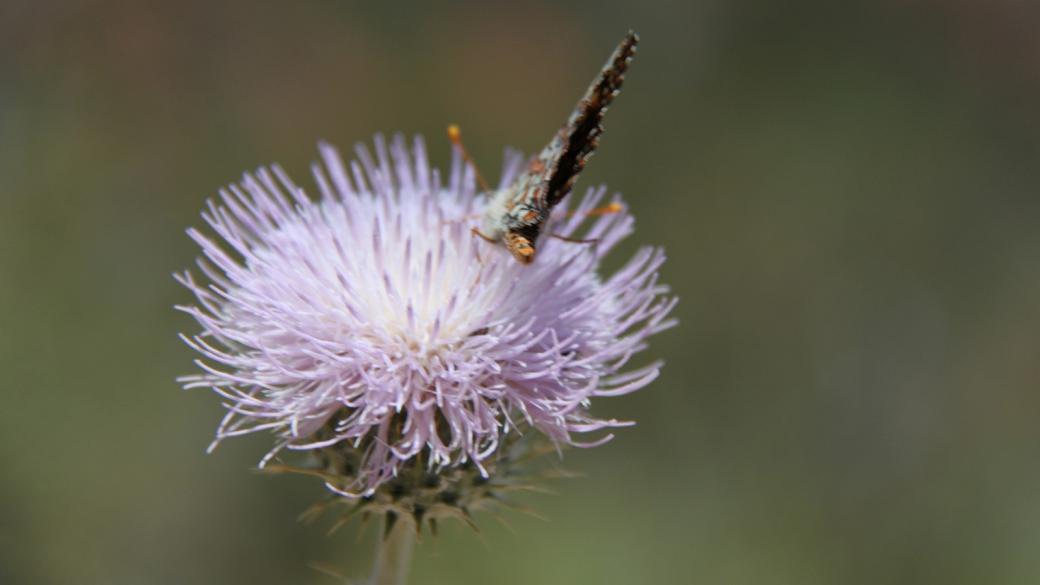 Desert Thistle - Cirsium Neomexicanum