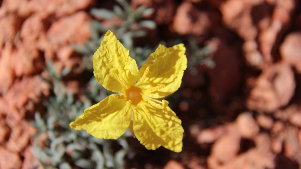 Lavender-Leaf Sundrops - Calylophus Lavandulifolius