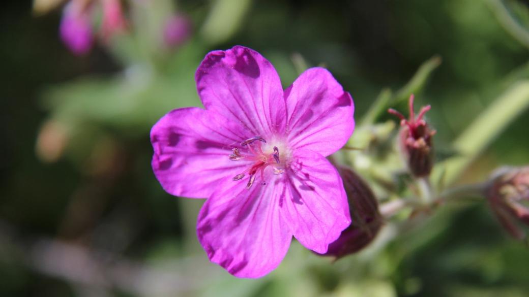 Sticky Purple Geranium - Geranium Viscosissimum