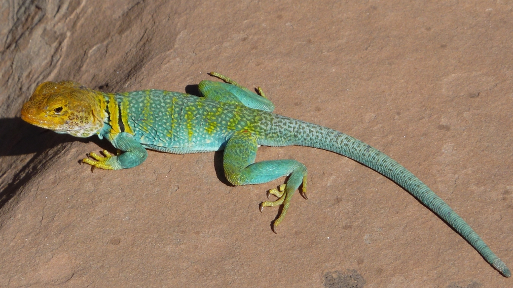 Eastern Collared Lizard - Crotaphytus Collaris