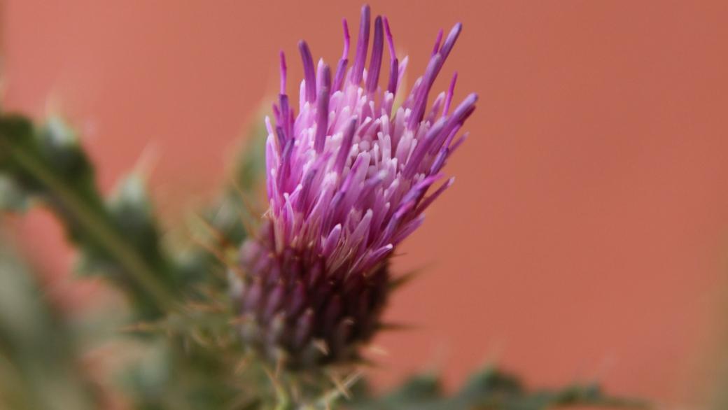 Arizona Thistle - Cirsium Arizonicum