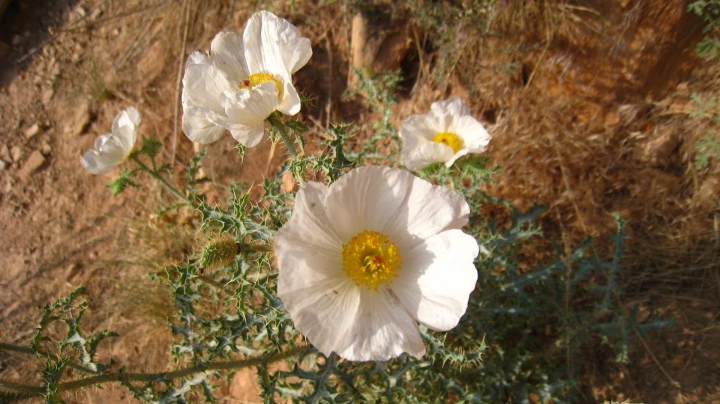 Prickly Poppy - Argemone Pleiacanth