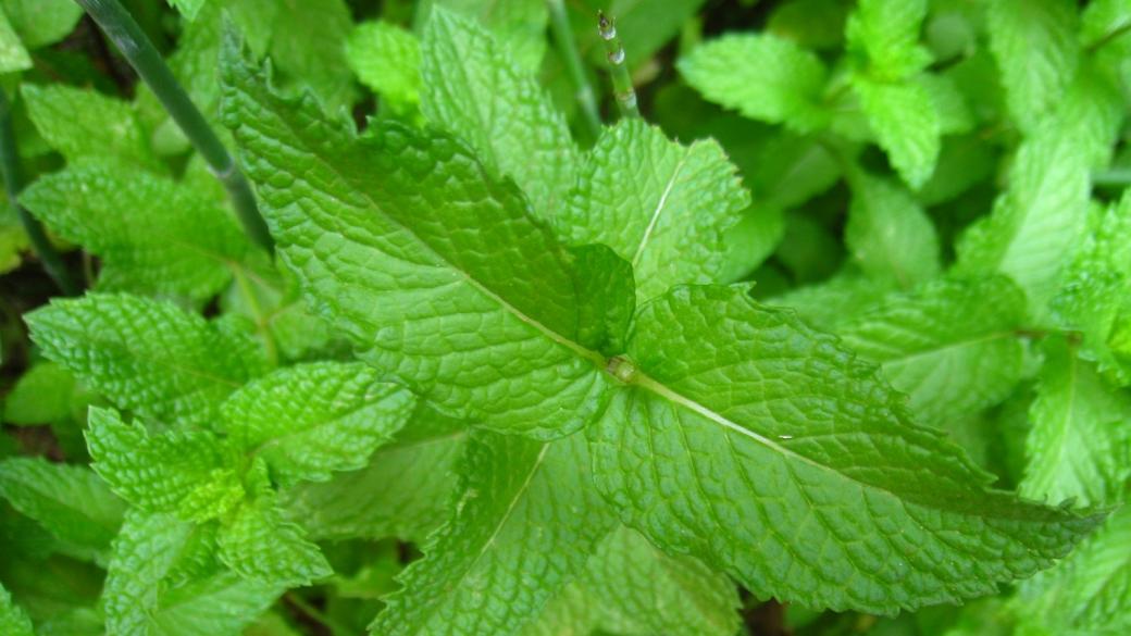 Mint - Mentha
