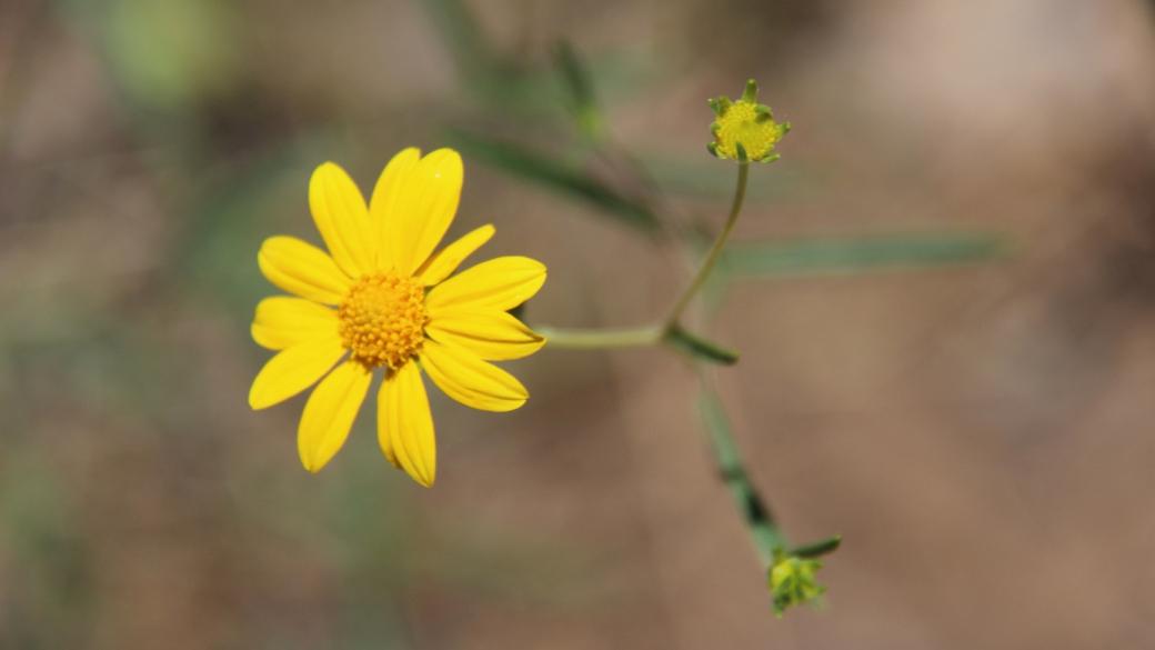Viguera multiflora