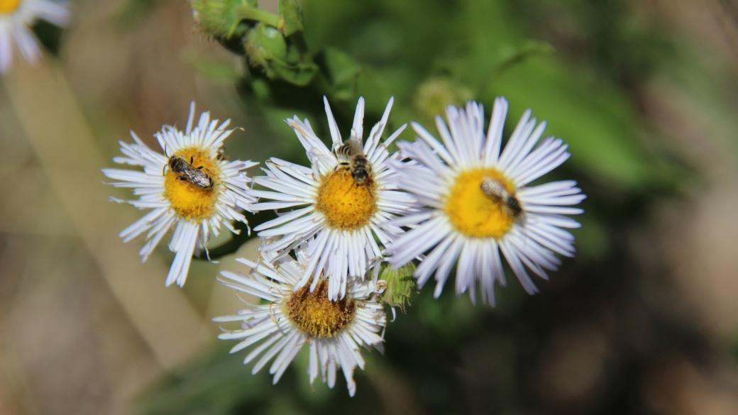 Spreading Daisy - Erigeron Divergens