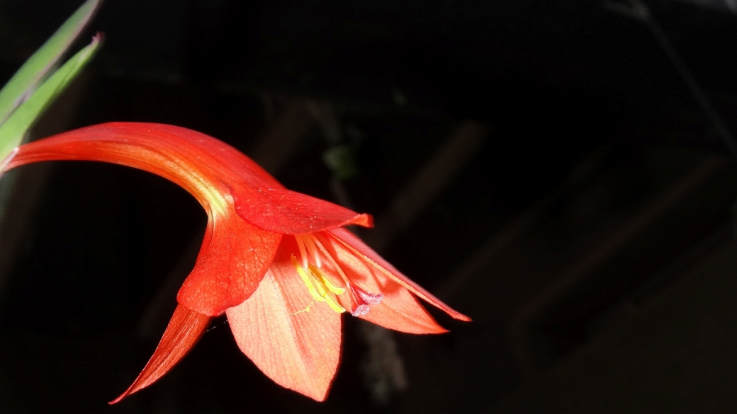 Mackinder's Gladiolus - Gladiolus Watsonioides