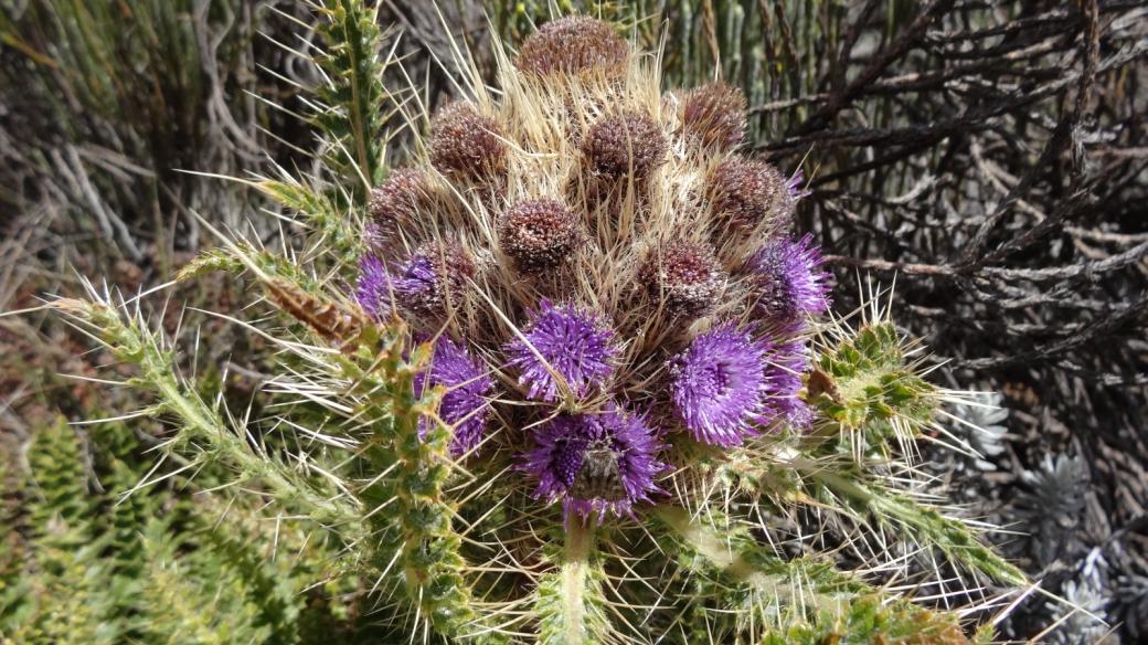Mountain Thistle - Carduus Keniensis
