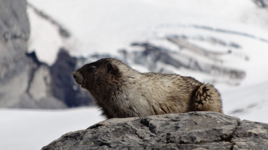 Marmotte se prélassant au soleil au Mount Rainier National Park.