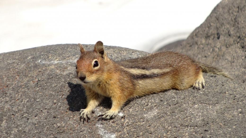 Un petit écureuil, appelé Chipmunk, se prélassant sur le Muir Snowfield.