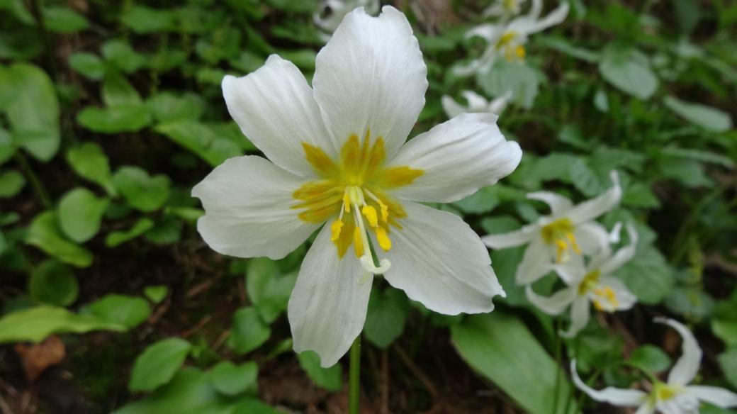 Avalanche Lily - Erythronium Montanum