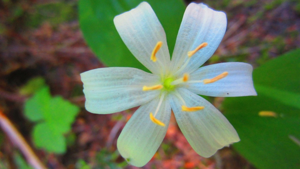 Rain Lily - Zephyranthes