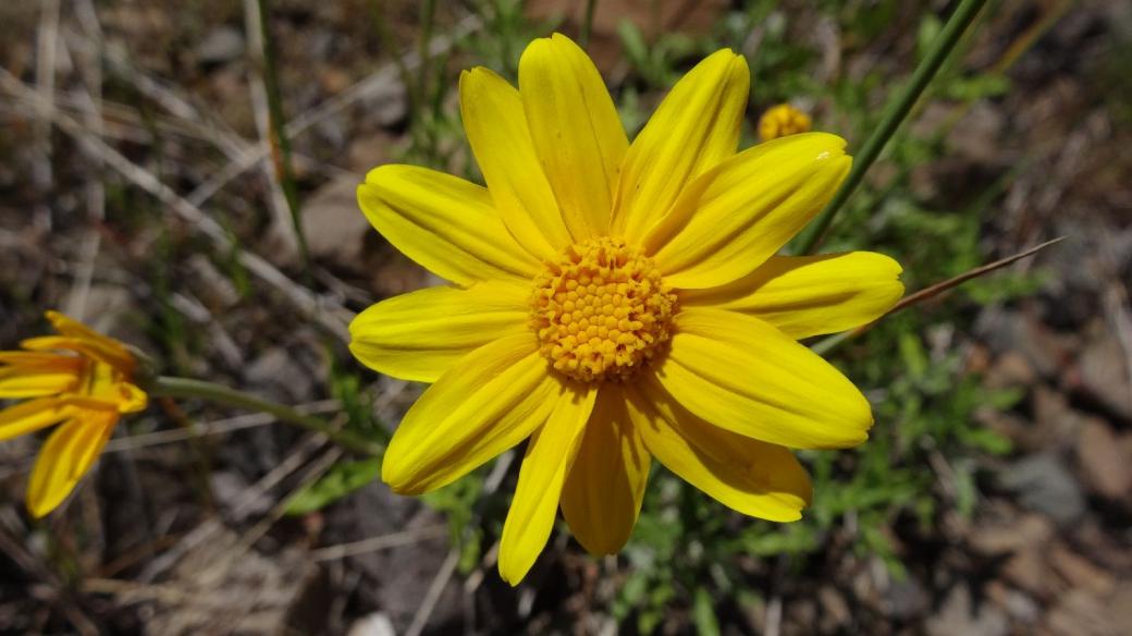 Prairie Golden Aster - Chrysopsis Camporum