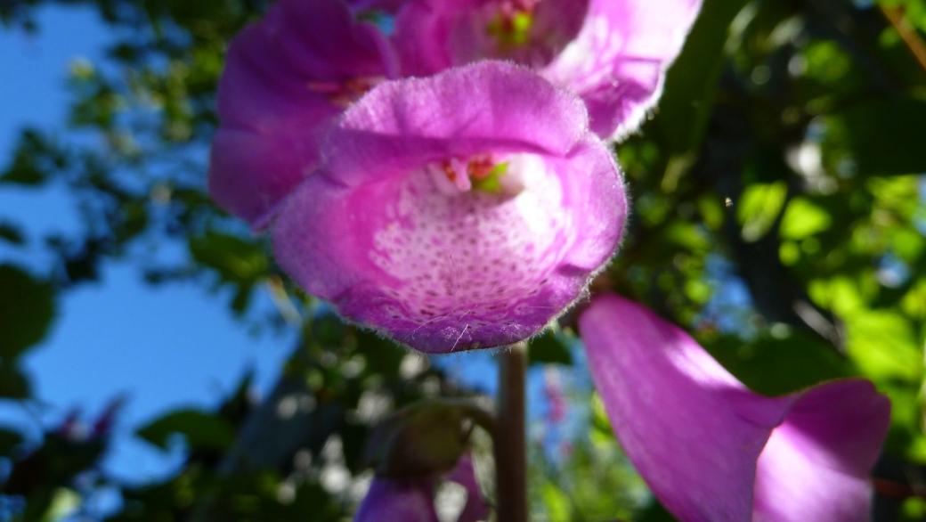 Foxglove - Digitalis Purpurea