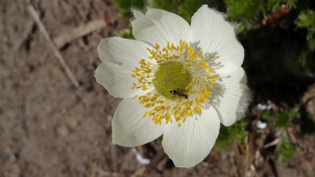 Western Pasque Flower - Pulsatilla occidentalis