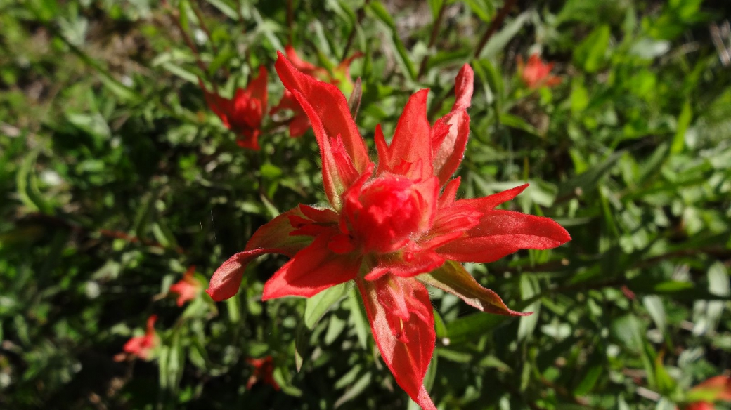 Giant Red Paint Brush - Castilleja miniata