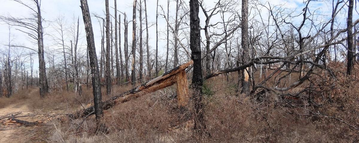 Désolation à Bastrop State Park, après l'incendie de 2011.