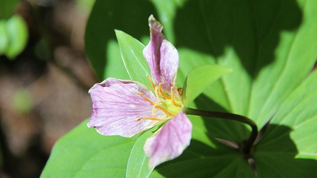 Western Wake Robin – Trillium Ovatum