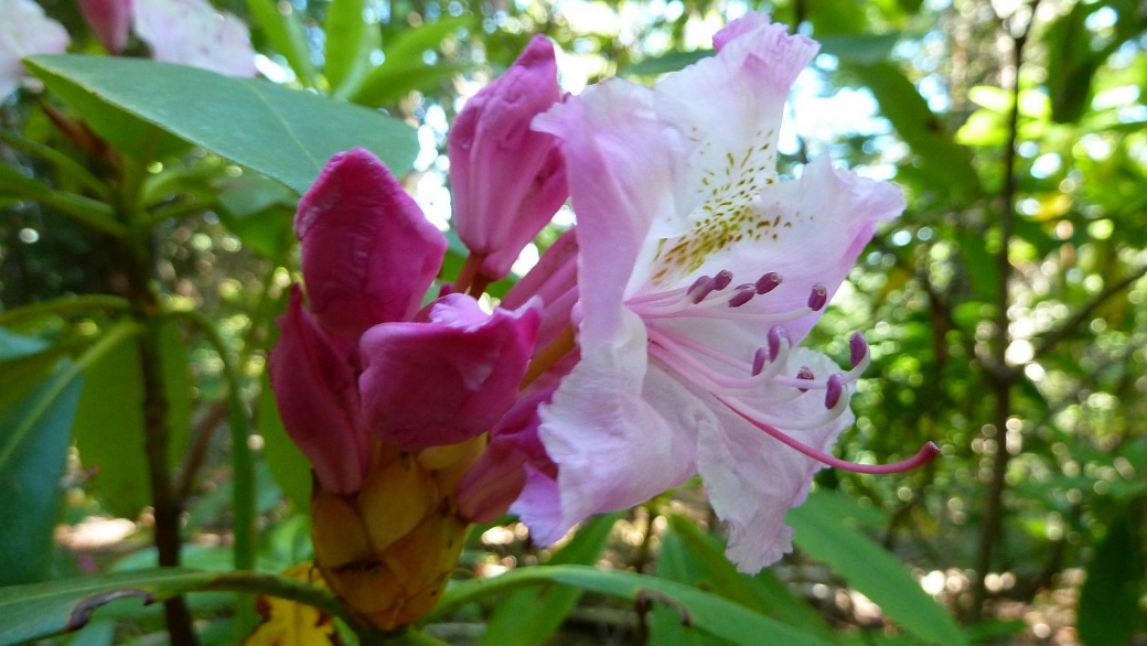 Alpenrose - Rhododendron Ferrugineum