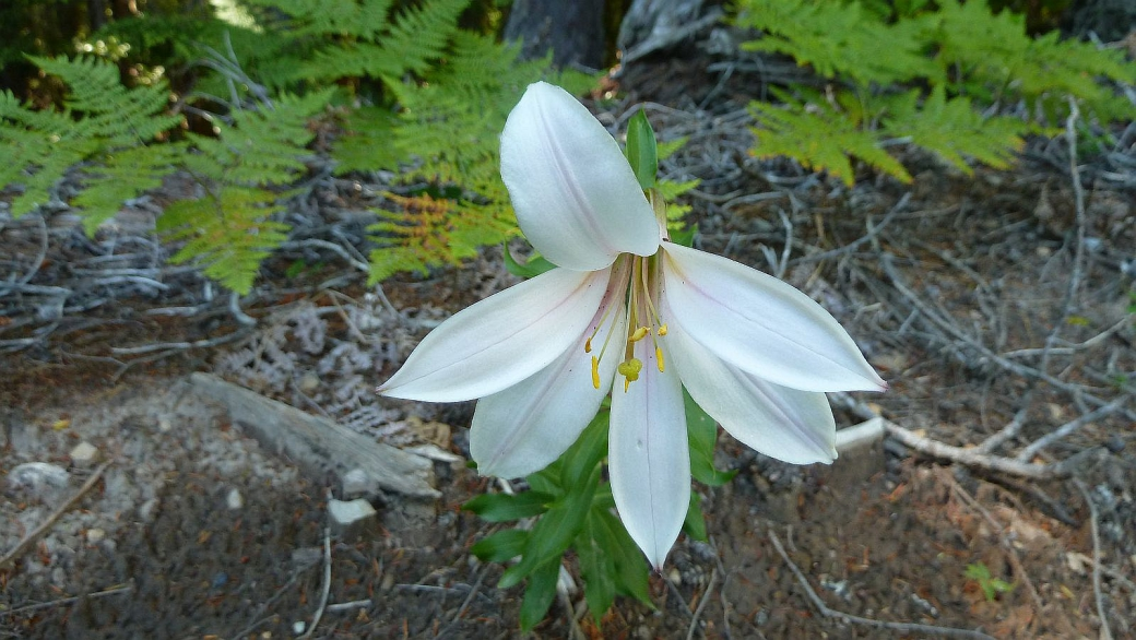 Cascade Lily – Lilium Washingtonianum