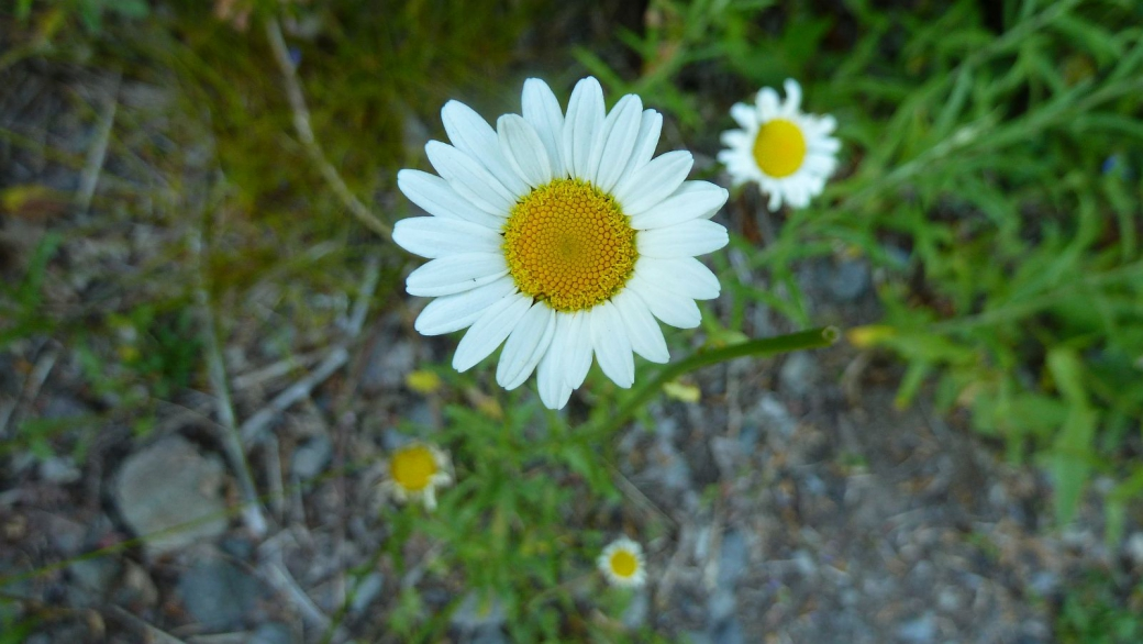 Oxeye Daisy – Leucanthemum Vulgare