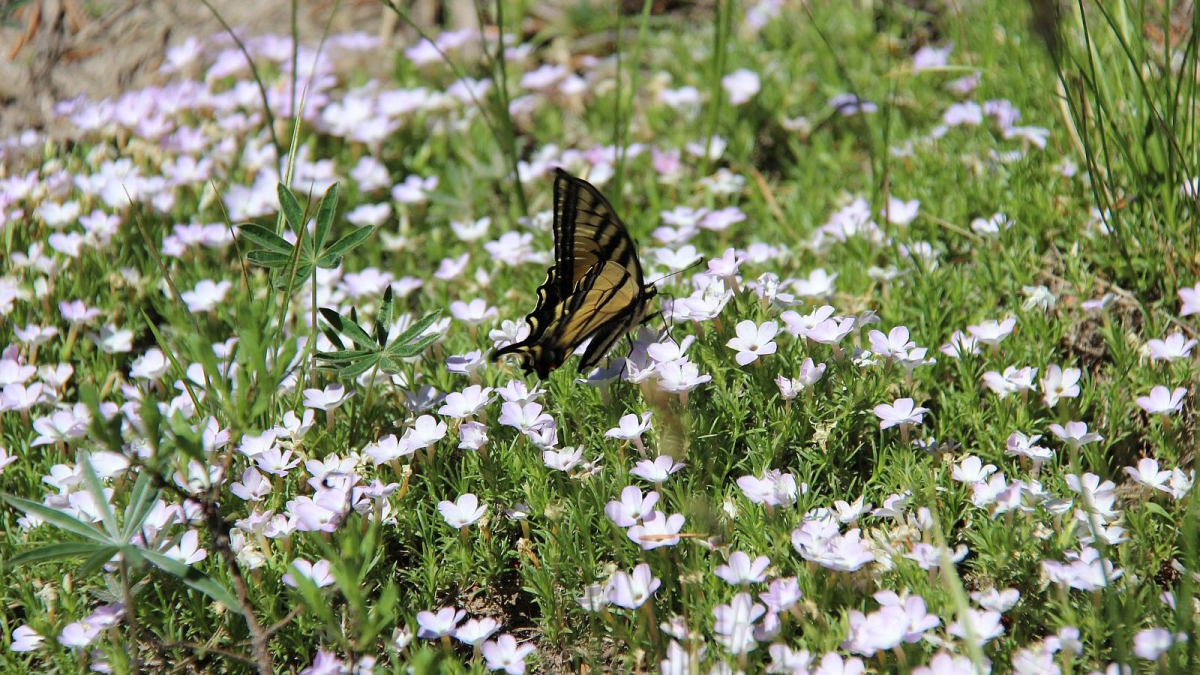 Eastern Tiger Swallowtail butterfly - Papilio Glaucus.