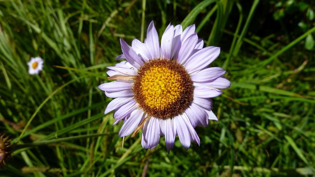 Daisy - Bellis