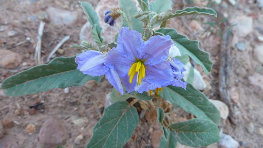 Eggplant flower - Solanum