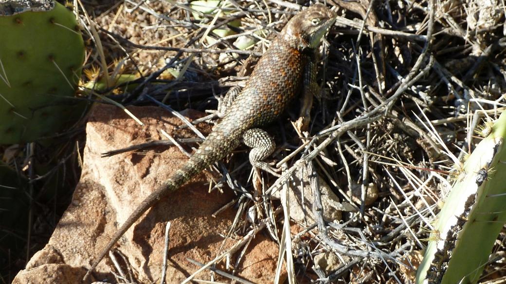 Desert Spiny Lizard – Sceloporus Magister