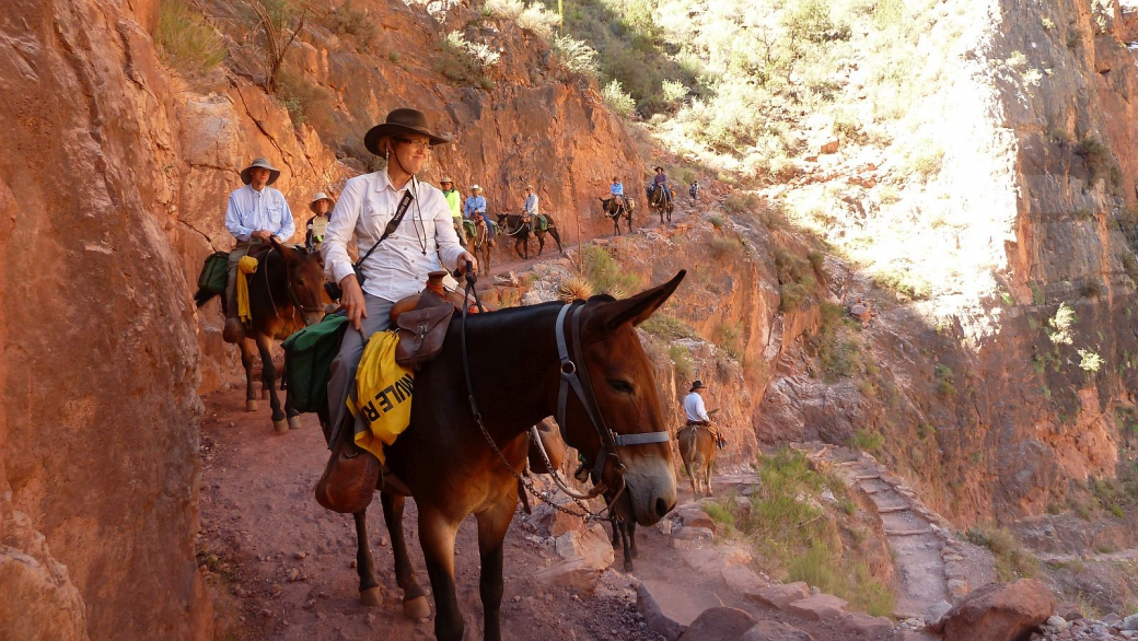 Mules avec touristes sur le Bright Angel Trail, au Grand Canyon National Park, Arizona.