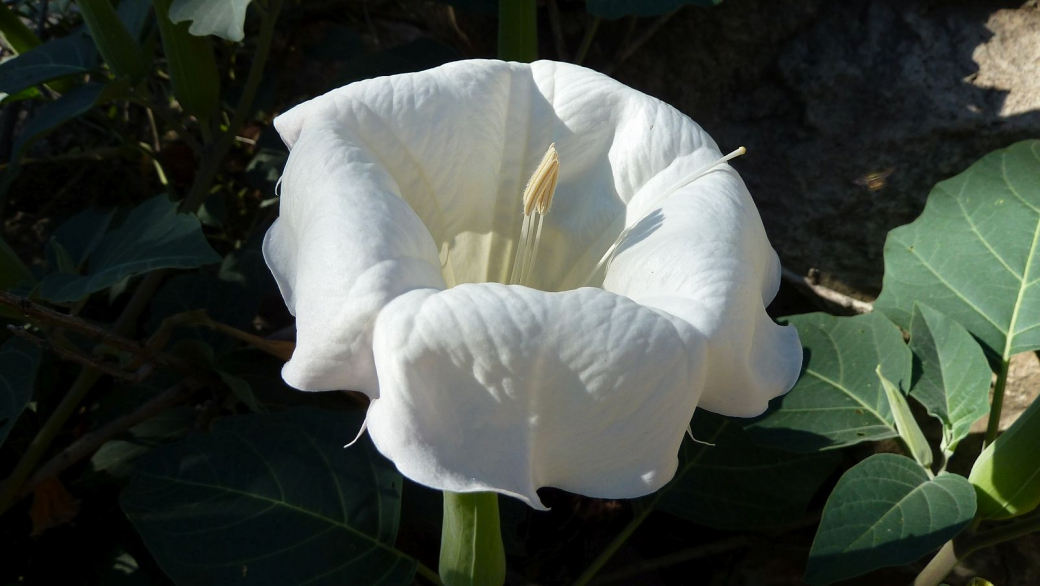 Moonflower – Datura Inoxia