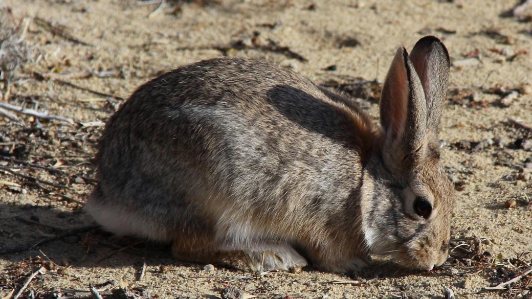 Joli lapin pas farouche rencontré à Crow Canyon, près de Farmington, au Nouveau-Mexique.
