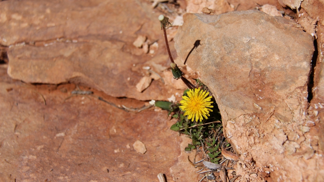 Common Dandelion – Taraxacum Officinale